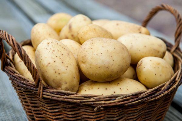 Jenis kentang yang terbaik