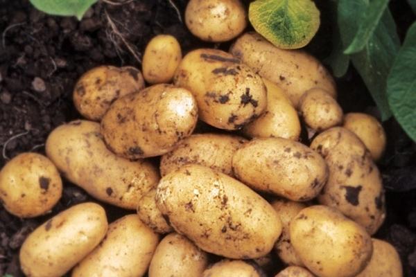 Penerangan dan ciri-ciri varieti kentang Adretta, petua penanaman dan penjagaan