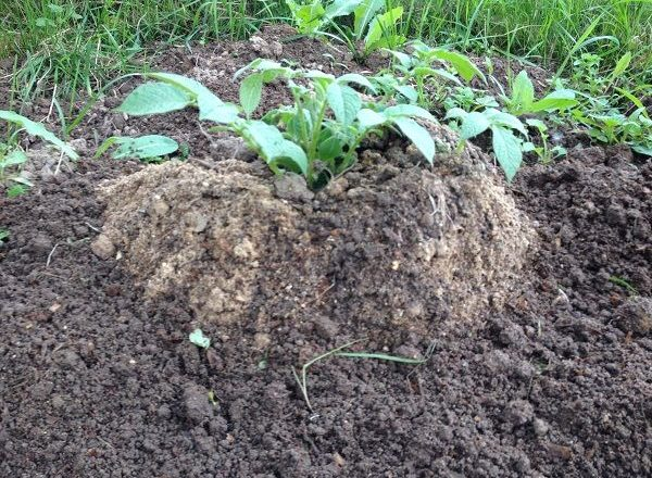 Menanam kentang menggunakan teknologi Cina