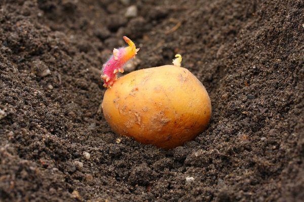 Menanam kentang di rantau Moscow