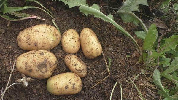 Siderates untuk kentang