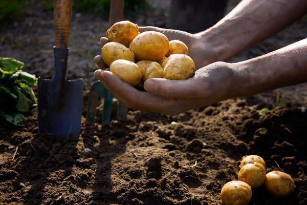 Syarat penanaman kentang