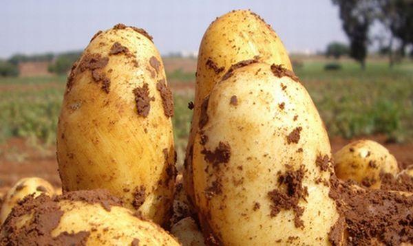 Penerangan mengenai varieti kentang Uladar