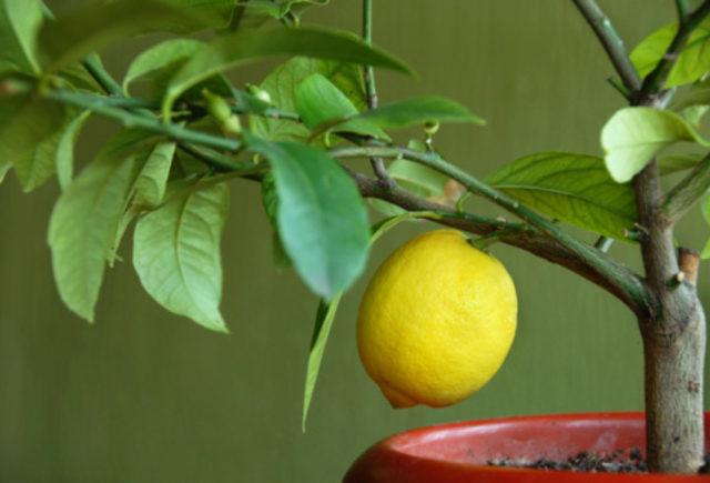 lemon makan
