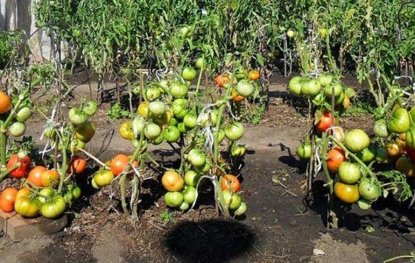 Jangan sekali-kali bertolak ansur dengan tomato dari tempat teduh di bawah sinar matahari.