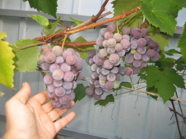 Berry untuk membuat wain adalah lebih baik untuk mengumpul di tengah-tengah musim luruh
