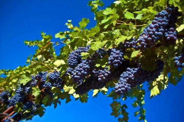 Anggur di atas pokok anggur