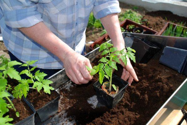 Penjagaan anak benih tomato