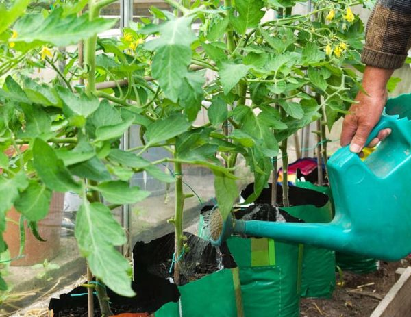 Menyiram selepas memindahkan tomato
