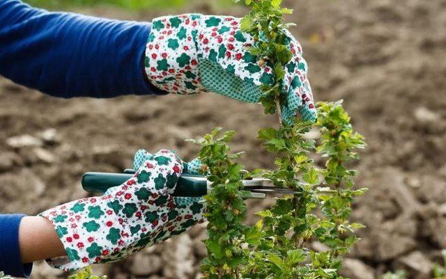 gooseberry musim luruh penjagaan pemangkasan atas