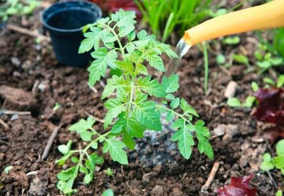 Untuk meningkatkan pertumbuhan, anda boleh menyalurkan tomato dengan campuran baja.