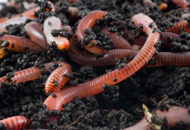 pembiakan cacing tanah di rumah
