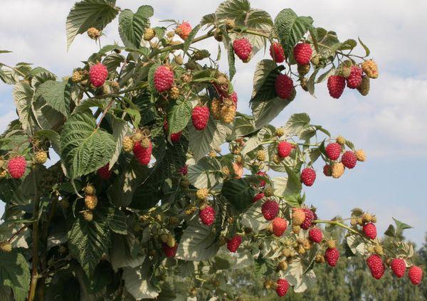Penjagaan Raspberry pada musim gugur