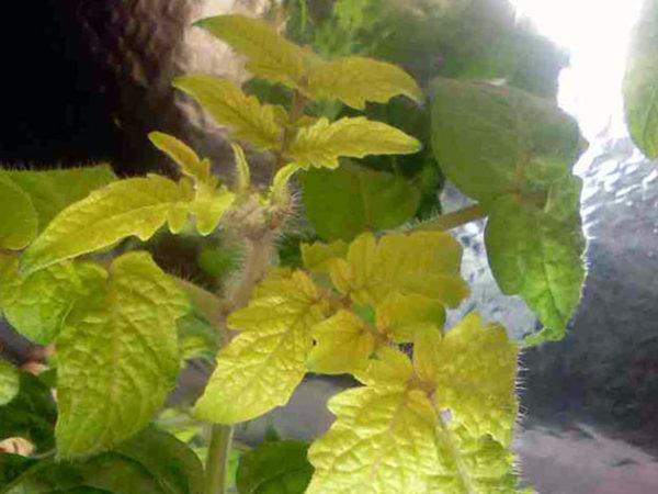 Oleh kerana kekurangan nitrogen, daun tumbuhan mula melemahkan dan menjadi kuning.