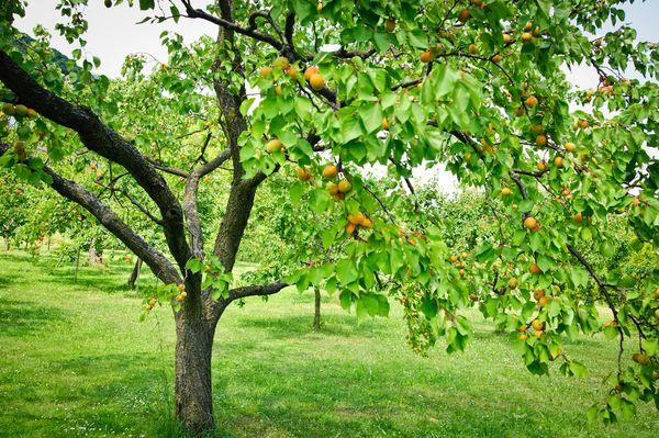 Makanan aprikot