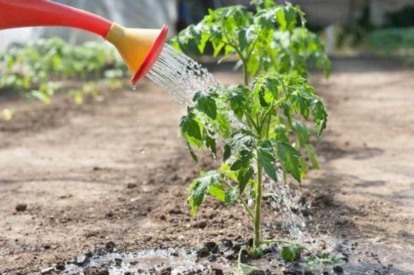 bagaimana untuk memberi makan anak benih tomato