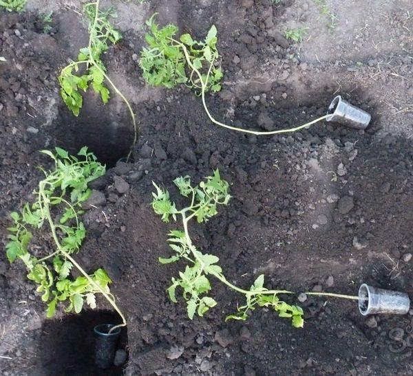Cara menanam benih tomat yang ditanam