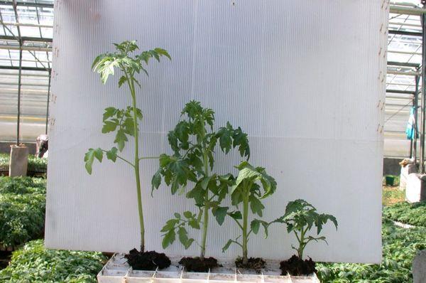 Anak pokok yang diternak terlalu tinggi mempunyai ketinggian kira-kira 50-60 cm
