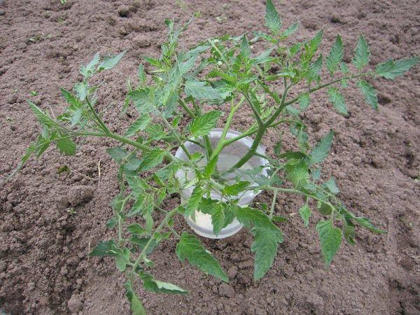 Bibit yang bertumbuh boleh dipotong setengah dan berkembang lagi sebagai 2 anak benih
