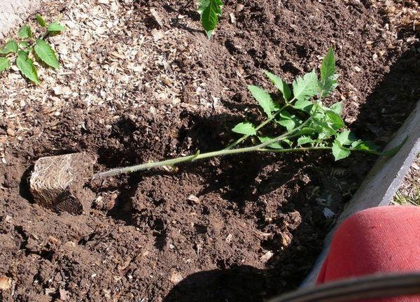 Benih-benih yang ditanam terlalu banyak harus ditanam berbaring.