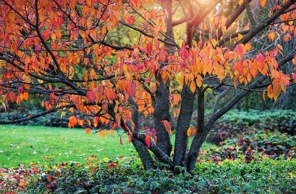 Peraduan plum di musim gugur
