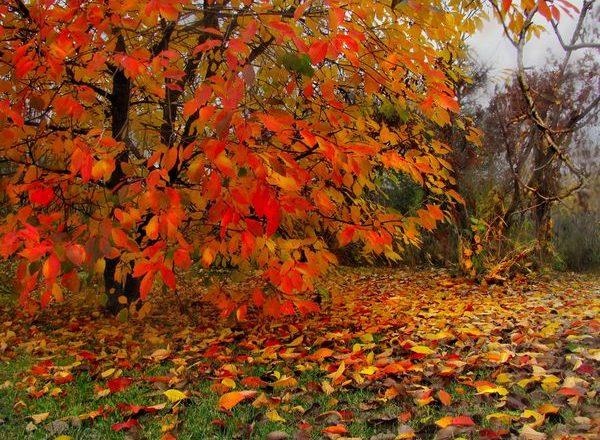 Berpakaian ceri teratas pada musim gugur