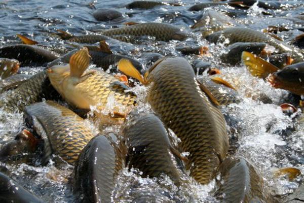 Pembiakan ikan