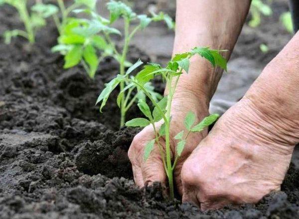Menanam benih tomato di rumah hijau