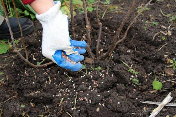 Pokok buah dan pokok renek memerlukan baja selepas berbuah