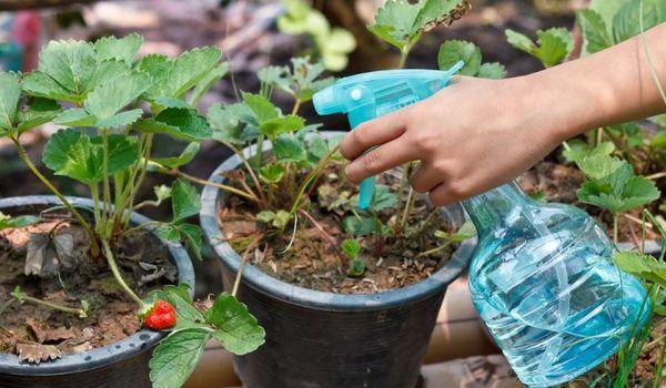 Penggunaan magnesium sulfat untuk tumbuhan