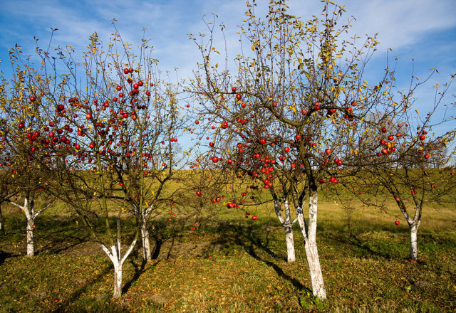 Pokok epal yang berpakaian pada musim luruh