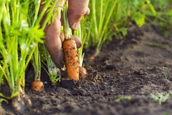 kemudian tanaman lobak