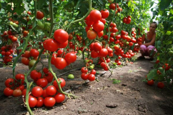 Tomato dianggap sebagai salah satu pendahulu terbaik untuk timun.