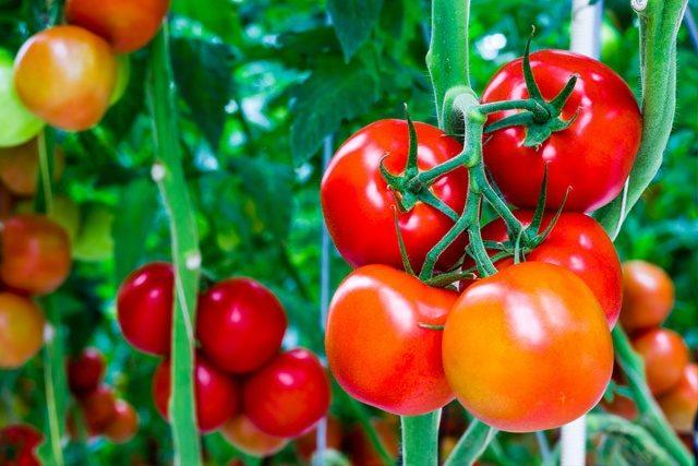 Masking tomato