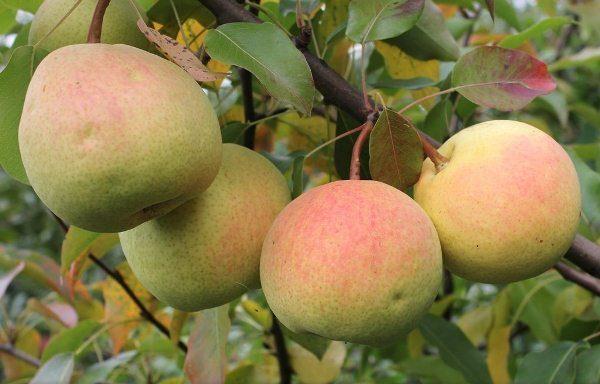 Rossoshanskaya - pir dengan buah-buahan musim luruh masak