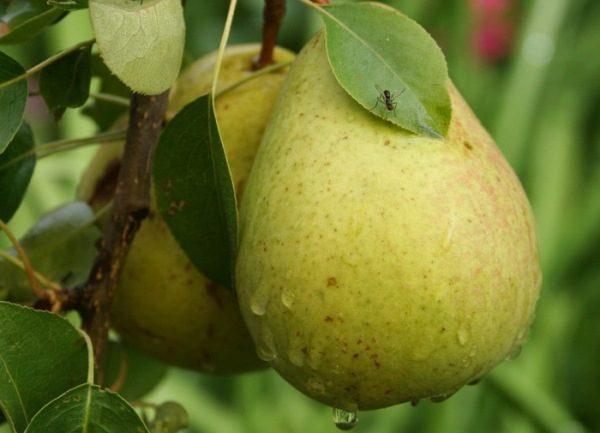 Bessemyanka pear tergolong dalam varieti hasil tinggi