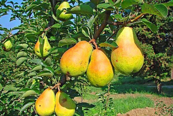 Pear musim panas pelbagai Duchess pir