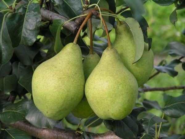 Kondratievka pelbagai jenis pear tinggi