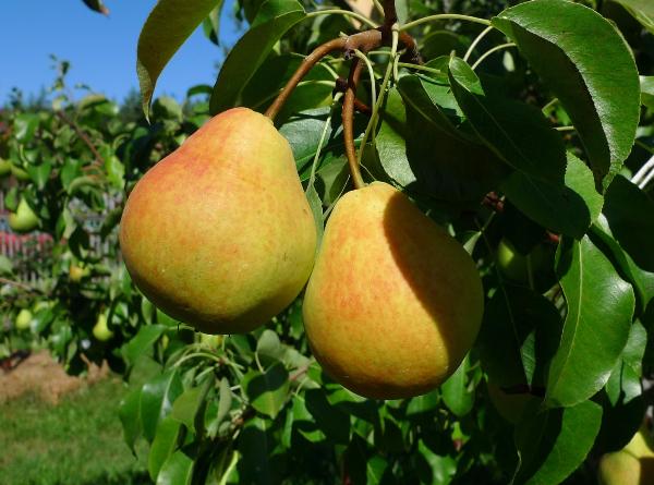 Pear Lada merujuk kepada jenis musim panas awal