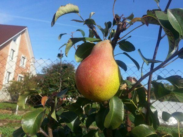 Lira Pear