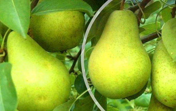 Buah-buahan Pervomayskaya pelbagai boleh disimpan sehingga 8 bulan