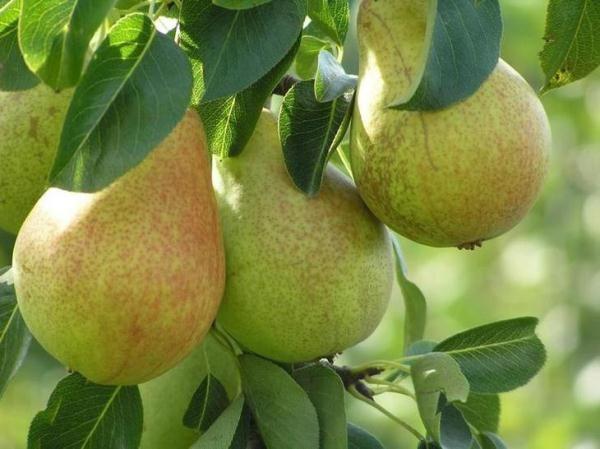 Saratovka pelbagai tahan pir buah-buahan