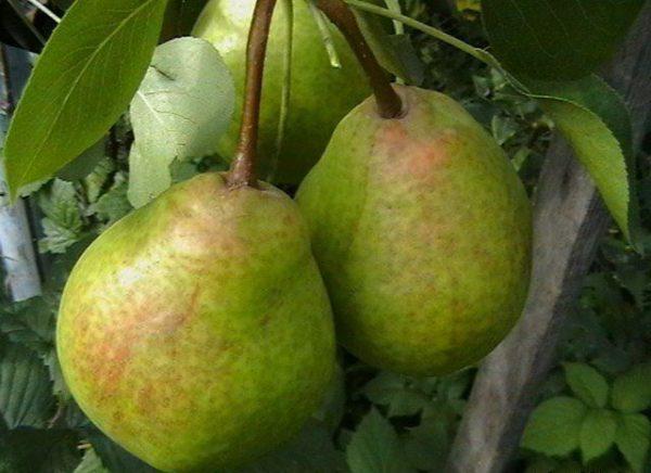 Pear Fairy-kisah dicirikan sebagai gred tinggi dan sangat berbuah