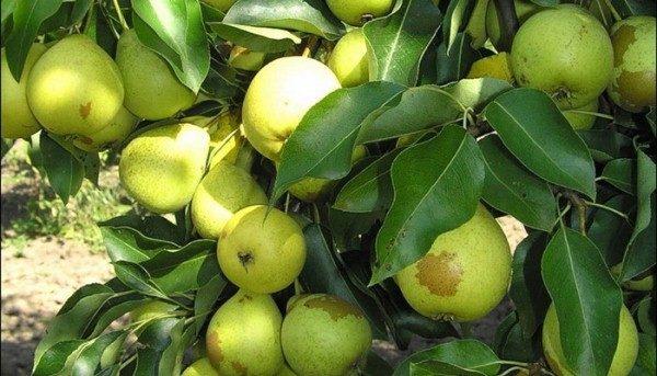 Pear Skorospelka dari Michurinsk