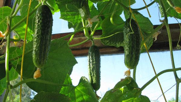 Kubis, bawang, kacang tanah, jagung tumbuh dengan baik selepas timun.