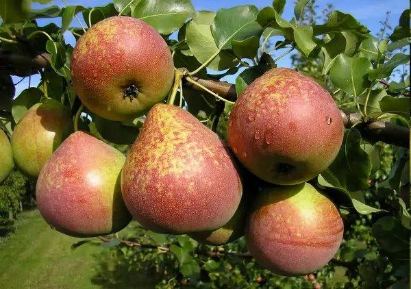 Buah Marble Pear