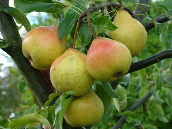 Pelbagai buah pir mempunyai ketahanan musim sejuk yang tinggi dalam ingatan Yakovlev