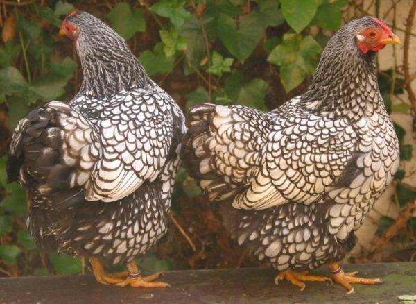 Baka ayam
