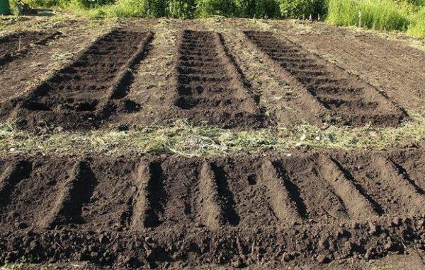 Cucumbers tidak tumbuh di tanah terlalu kering