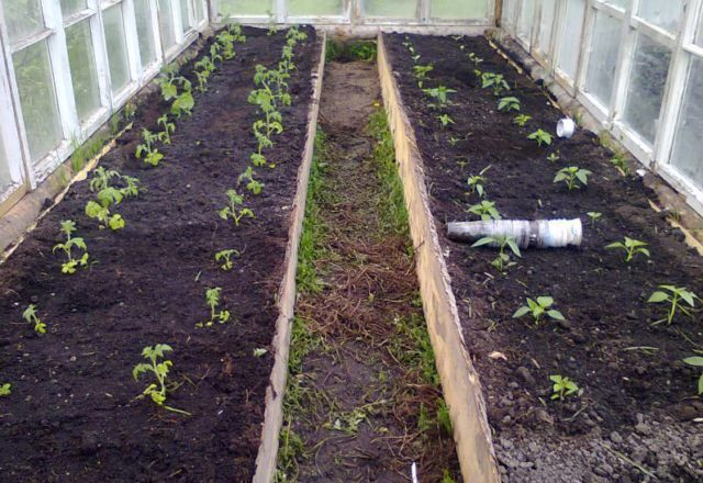 apabila menanam tomato di rumah hijau di Siberia